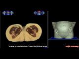 Анатомия женский половой орган / Anatomy of the Female Sex Organs