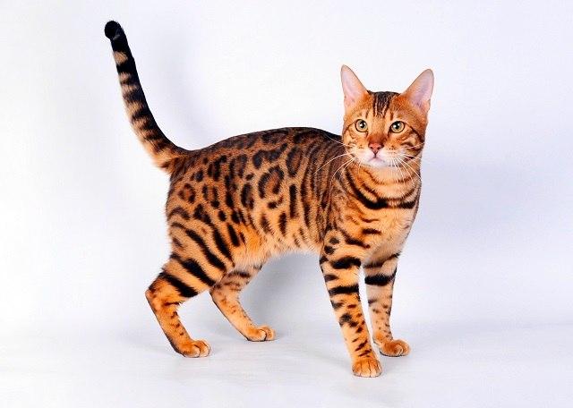 Характер, уход и питание бенгальской кошки