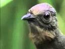 Unikal'nye ptica Peresmeshnik povtoryaet vse zvuki kotorye uslyshit flv