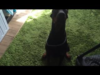 Доберман Тайсон выполняет команды) собака