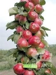 Яблоня: сорта и агротехника. - Страница 6 MhkN9GLej7s