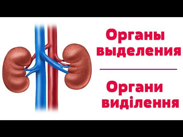 Видео-урок по анатомии. Органы выделения dbltj-ehjr gj fyfnjvbb. jhufys dsltktybz