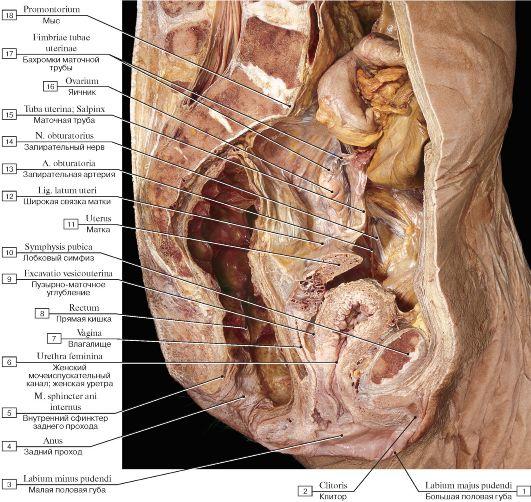 Порно фото женских строение гениталий