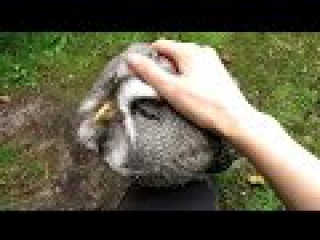 Great Grey Owl at the Wildlife Rehab