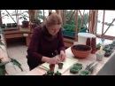 Выращивание петунии из семян.Часть4 - пикировка.
