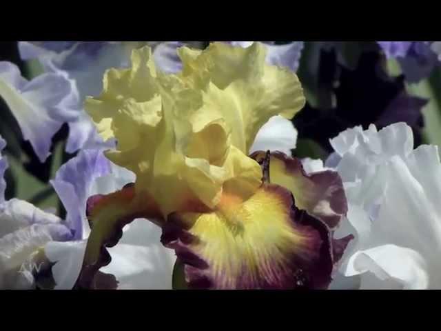 Весенняя нежность Francis Goya At The Border Of Leaving Spring tenderness