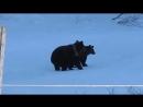 Русская бабка Прогнала медведей (Медведицу и медвежонка)