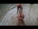Собачьи бои булли кутта (возможно щенок) vs пит-булли (питбуль)