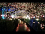 Sakura Cherry Blossoms - Meguro River 2015 ● 目黒川桜まつり