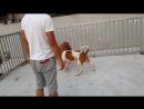 Собачьи бои американский бульдог vs питбуль (2)