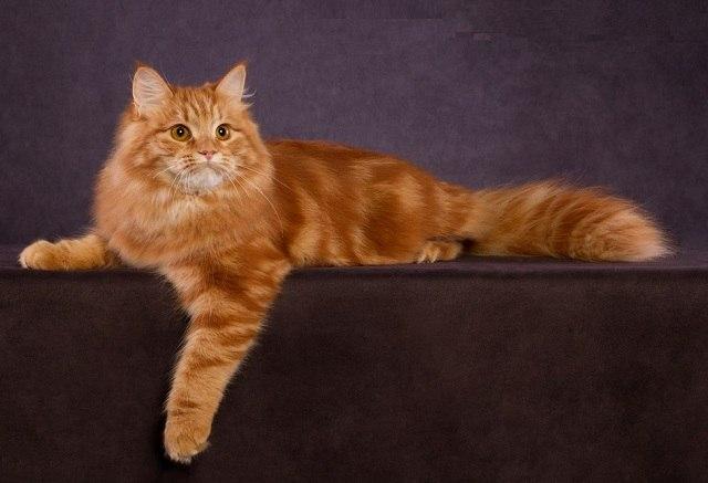 Характер, уход и питание сибирской кошки