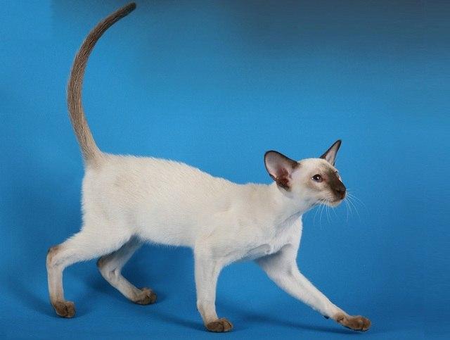 Характер, уход и питание сиамской кошки
