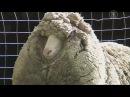Возможно самый мохнатый баран найден в Австралии новости