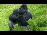 Badongo Silverback Gorilla leaps to a tree to avoid electric fence