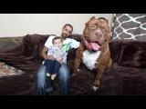 Meet 'Hulk' The Giant 175lb Family Pit Bull DOG DYNASTY