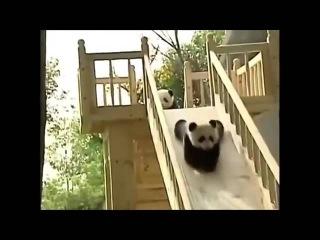 Панды катаются с горки Прикол Смешное видео