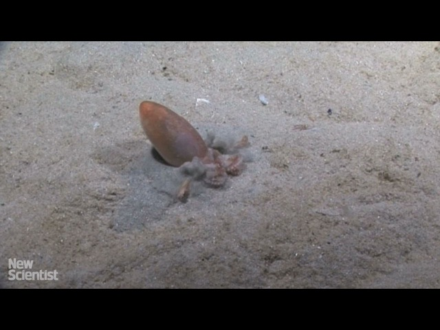 Octopus makes its own quicksand then vanishes inside