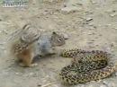 Белка против змеи