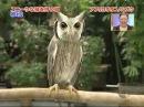 Kawaii owl (Кавайная сова)