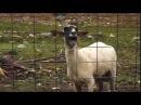 Овца кричит.