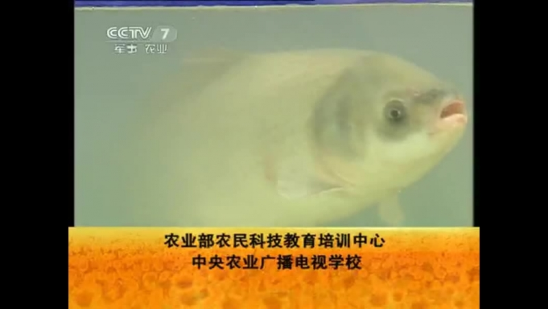 美国大口胭脂鱼养殖技术 (Иктиобус, или Большеротый буффало - разведение рыбы, родом из Северной Америки)。
