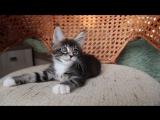 Котенок мейн кун Otrada of Aurum Beauty 1,5 месяца