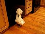 umbrella cockatoo going mad in kitchen floor. but a happy bird