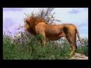 Суперхищник - лев