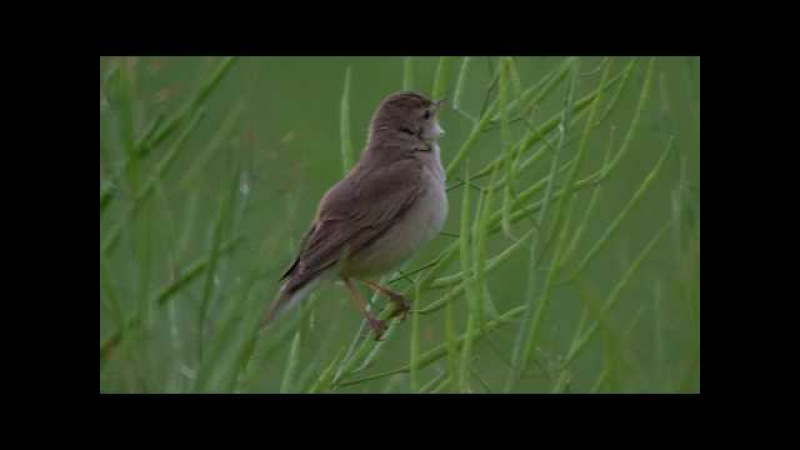 Booted warbler / Северная бормотушка / Hippolais caligata / Iduna caligata