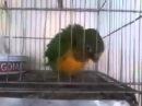 Papagaio Capoeirista