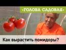 Голова садовая - Как вырастить помидоры?