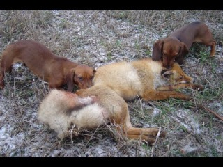 Охота на лису с таксами.Из цикла |Охотничьи истории|