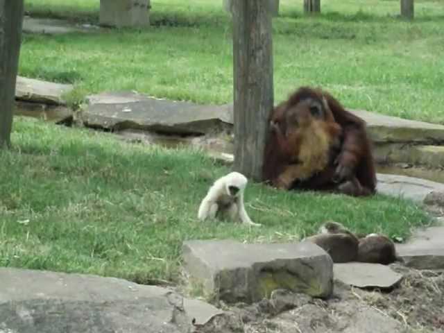 Interactions interespèces : Gibbon, Orang-outan, loutre