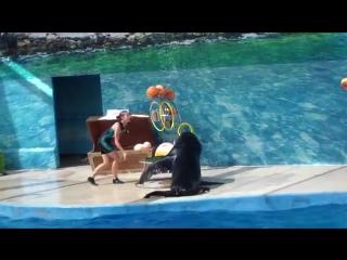 1 Анапский дельфинарий. Выступление морского льва ТАТАНА - лето 2016 (1)
