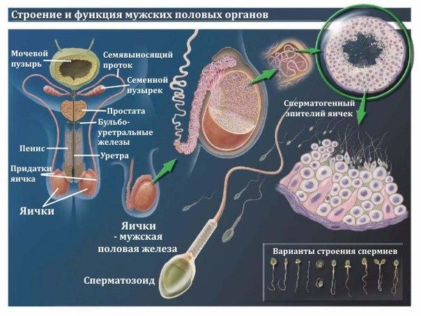 vremya-vliyaniya-alkogolya-na-spermu