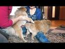 Вязка Собак. Померанцы. Mating Dog. Pomeranian. Одесса.