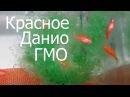 Данио, Aquarium fish, Danio rerio, HOW TO Keep Danio rerio, Danio Zucht, Breeding Danio