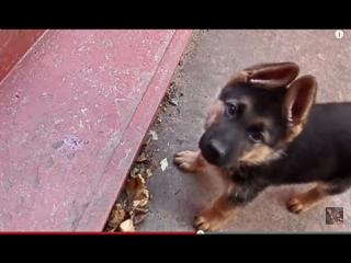 Amazing Puppy! УДИВИТЕЛЬНЫЙ ЩЕНОК  немецкой овчарки .Одесса.