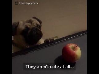 Мопсы – самые милые из собак