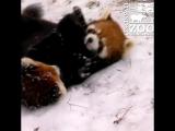 Маленькие красные панды впервые увидели снег