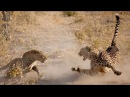 Леопард и гепард Leopard kills cheetah