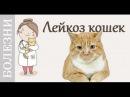 Вирусный лейкоз кошек Кто болеет признаки лейкоза лечение Советы ветеринара