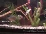 крыса в аквариуме с пираньями – Смотреть видео онлайн в Моем Мире.