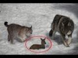 Схватка Волка и Пумы смертельный поединок