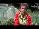 Почему опадают бутоны у перцев и баклажанов. Сайт Садовый мир