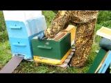 Пересадка пчелопакета в улей