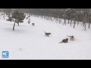 Сибирские тигры сбили дрон в зоопарке в Китае