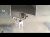 Кот выгуливает собачку