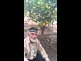 Вот такой урожай лимона у нас в Таджикистане