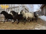Овцы бегут завтракать зерном и сеном